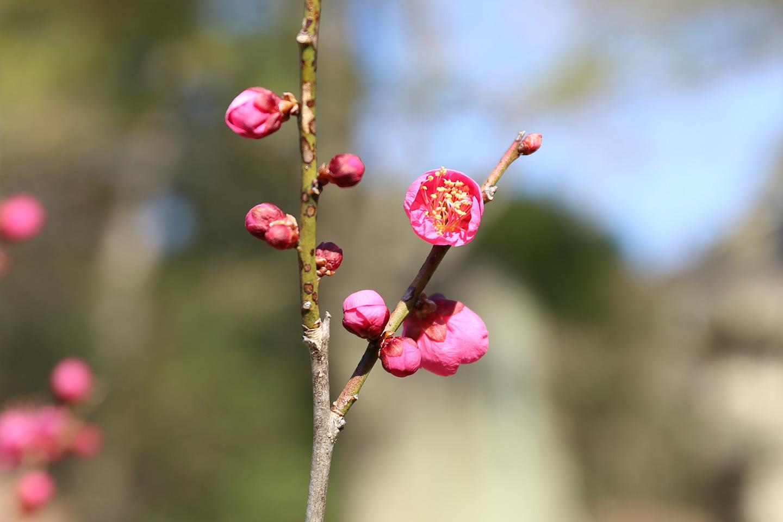 成田の梅祭り