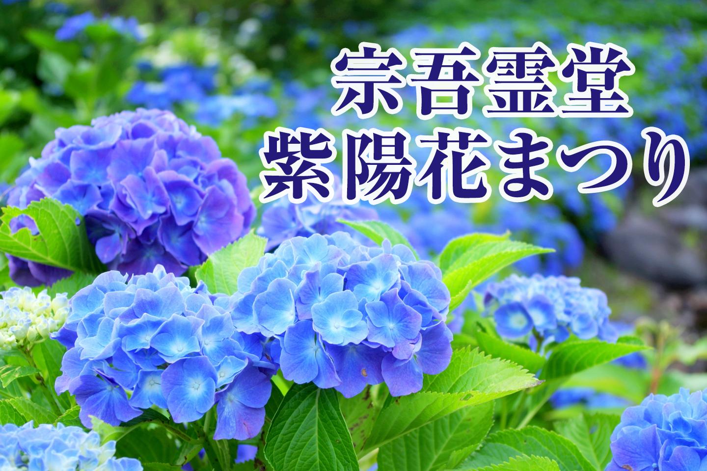 宗吾霊堂紫陽花まつり