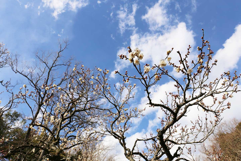 成田山_梅の花