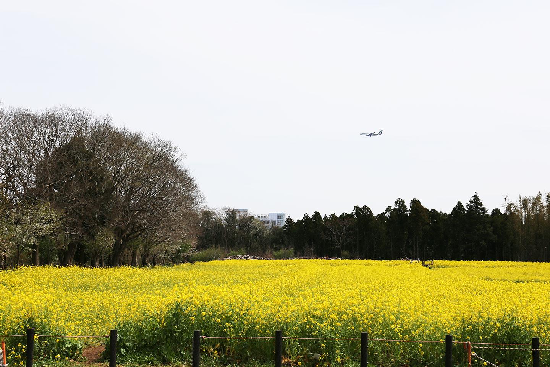 菜の花 飛行機